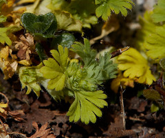 Aphanes australis (Slender Parsley-piert) (Hugh Knott) Tags: aphanesaustralis slenderparsleypiert flora flowers anglesey wales uk rosaceae macro macroflowerlovers