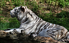 (hbp_pix) Tags: hbppix harry powers franklin park zoo lion tiger gorilla tapir