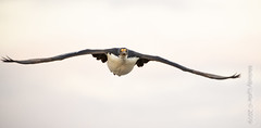 Imperial Shag (Cormorant) colony on Bleaker (karenmelody) Tags: animal animals bird birds bleakerisland cormorant falklandislands imperialshag phalacrocoracidae phalacrocoraxatriceps suliformes vertebrate vertebrates