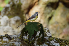 Dad grey wagtail (2/2) (Franck Zumella) Tags: wagtail gray jaune bergeronnette grise yellow bird oiseau nature green vert tree arbre light shadow lumiere ombre lumière wildlife feeding feed food nourrir nourriture lake water eau lac winter hiver sunset warm ray rayon last dernier coucher chaud rock rocher running courir run fast rapide composition printemps printanière sony a7s a7 tamron 150600