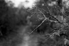 Beyond Lichen (macromary) Tags: 50mm summicron leicaflexsl leica leitz leicaflex slr primelens vintage camera manual film 35mmfilm filmcamera vintagecamera vintagelens oldglass mechanicalcamera analog availablelight analogphoto bw monochrome blackandwhitefilm blackwhitefilm 35mm 35mmbwfilm analogphotograph fomapan fomafilm fomapan100 fl rodinal florida trail naturetrail lakewoodruff deland lakewoodruffnationalwildliferefuge filmforever lichen beardlichen twigs usnea