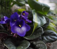 Sans titre/Untitled (bd168) Tags: bokeh violetteafricaine africanviolet potted enpot fleur flower greenleaves details détails closeup grosplan em10markii m1240mmf28pro