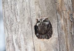 Petit duc maculé/Eastern Screech Owl -_PM23932 (michel paquin2011) Tags: rouge petit duc maculé roux gris parc angrignon rapace nocturne