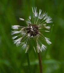 Great Parks Photo Walk: Withrow Nature Preserve (emeagen) Tags: wildflower macro dandelion ohio cincinnati d500 nikon
