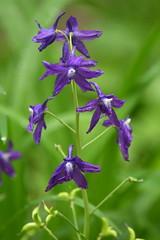Great Parks Photo Walk: Withrow Nature Preserve (emeagen) Tags: dwarflarkspur wildflower nature ohio cincinnati d500 nikon