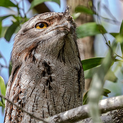 One-Eyed (gecko47) Tags: bird nocturnalpredator tawnyfrogmouth perched snoozing podargidae podargusstrigoides sedentary pair oxleycreekcommon brisbane rocklea