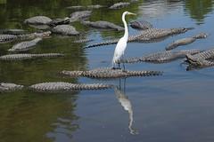 Water Taxi (arielfischer) Tags: egret alligator greategret ardeaalba silberreiher grandeaigrette garcetagrande большаябелаяцапля garzablanca garzagrande garzón blanco garzónblanco תנין alligatore аллигатор jacaré bird