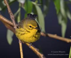 Prairie Warbler on Branch (Laura-Meyers) Tags: greenwoodcemetery prairiewarbler