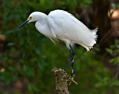 2019.04.24.9621 Snowy Egret (Brunswick Forge) Tags: animal animals animalportraits bird birds outdoor outdoors grouped florida nature spring 2019 wildlife nikond500 staugustine nikkor200500mm