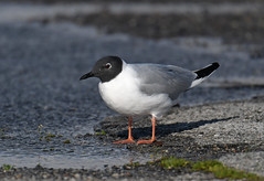 Bonaparte's Gull (Digital Plume Hunter) Tags: