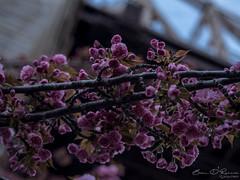 Magical Pink (Brian D' Rozario) Tags: brian19869 briandrozario nikon d750 50mm niftyfifty cherryblossom cherryblossoms flower floral nyc newyork newyorkcity urban nature natural spring rooseveltisland citylife edkoch bridge dof bokeh pink