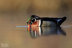 IMG_9351nx (4President) Tags: wood duck aix sponsa minnesota