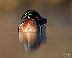 IMG_9289nxr (4President) Tags: wood duck aix sponsa minnesota