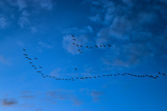 Changing places (darletts56) Tags: sky blue bird birds fly flying cloud clouds grey sunset dusk evening prairie