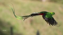 Resplendent Quetzal flight (featherweight2009) Tags: resplendentquetzal pharomachrusmocinno quetzals trogons birds
