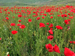 Red Wildflowers (cowyeow) Tags: armenia caucuses mountain flower wildflower flowers field nature hillside meadow composition macro red vibrant redflowers