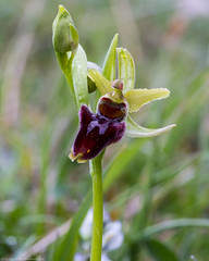 Early Spider Orchid (Ophrys sphegodes) (BiteYourBum.Com Photography) Tags: dawnandjim dawnjim biteyourbum biteyourbumcom copyright©2019biteyourbumcom copyright©biteyourbumcom allrightsreserved uk unitedkingdom gb greatbritain england canoneos7d canonefs60mmf28macrousm canonmacrotwinlitemt26exrt apple imac5k lightroom6 ipadair appleipadair camranger manfrotto055cxpro3tripod manfrotto804rc2pantilthead loweproprorunner350aw sussex southdowns southdownsnationalpark castlehill castlehillnationalnaturereserve castlehillnnr nationalnaturereserve woodingdean brighton eastsussex orchid orchids earlyspider ophrys sphegodes earlyspiderorchid ophryssphegodes