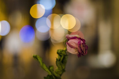 Speaking Volumes with the Cadence of a Mouse (Paul B0udreau) Tags: nikkor50mm18 photoshop canada ontario paulboudreauphotography niagara d5100 nikon nikond5100 raw layer italia italy bokeh roma rose flower nighttime lights