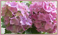 Pink Hydrangeas (bigbrowneyez) Tags: flowers blossoms hydrangeas gorgeous huge beautiful lovelly delightful fabulous petals frame cornice nature natura fiori fleurs belli pink striking stunning