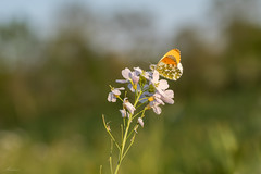 Finally found an orange tip (Mariannevanderwesten) Tags: orangetip oranjetipje butterfly vlinder avondlicht spring lente canon nature natuur voorjaar macro pinksterbloem