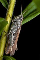 The Hider Unhidden - _TNY_5783 (In Explore 25/4 2019) (Calle Söderberg) Tags: macro canon canon5dmkii canoneos5dmarkii canonef100mmf28usmmacro canon5dmarkii 5d2 flash meike mk300 glassdiffusor insect grasshopper gräshoppa fieldgrasshopper commonfieldgrasshopper chorthippus brunneus acrididae backgräshoppa markgräshoppa caelifera fältgräshoppa gomphocerinae blackbackground grey brown armour armoured armor armored raynox dcr250 f22 inexplore explored