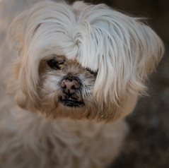(3 of 3) (+Pattycake+) Tags: photo fringe canine dampnose flowers oldvicaragegardens ©patriciawilden2019 closeup dog shihtzu outdoor shallowdof eos70d norfolk colour animal 50mm primelens flickr cute