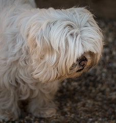 (2 of 3) (+Pattycake+) Tags: photo fringe canine dampnose slothlook flowers oldvicaragegardens ©patriciawilden2019 closeup dog shihtzu outdoor shallowdof eos70d norfolk colour animal 50mm primelens flickr cute