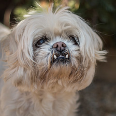 (1 of 3). Jaws.... (+Pattycake+) Tags: photo teeth closeup canine flowers oldvicaragegardens ©patriciawilden2019 eyes dog shihtzu outdoor shallowdof eos70d norfolk colour animal 50mm primelens flickr cute