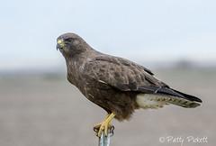 Swainson's hawk (Pattys-photos) Tags: swainsons hawk pattypickett4748gmailcom pattypickett