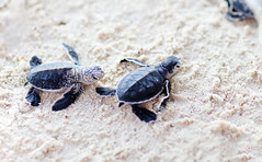 Baby Turtle (webbestsitesseo) Tags: baby turtle what is called take care temperaturedependent sex determination for sea hatchling make their way water