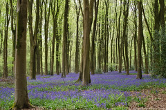 the bluebell woods (sure2talk) Tags: thebluebellwoods bluebells woods micheldever hampshire nikond7000 nikkor1855mmf3556afs