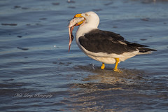 Pacific Gull (larus pacificus ) feeding on a fisherman's fish scraps (Malcom Lang) Tags: pacific gull larus pacificus seabird large bird seagull beach water sea ocean shallow shallows feeding feed fish scraps legs feathers beak eyes wings eye black white dropplettes waterdrop southaustralia southern south southernaustralia southerneyrepeninsula southernocean lincolnnationalparksouthaustralia lincoln lincolnnationalpark ilovenature nature natural australia australian aussie canoneos6d canon canon100400 mal lang photography mallangphotography