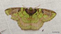 Geometer Moth, Nemoria sp., Geometridae (Ecuador Megadiverso) Tags: andreaskay ecuador geometermoth geometridae moth wildsumaco nemoria nemoriapulverata nemoriacoupena