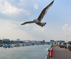 Gull in flight (Mrcorbett) Tags: gull seagull bird flight lucky picture photo bomb harbour seaside boats sea tourists