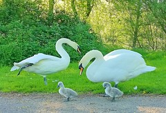 Swan family. (peterileypics) Tags: swan cygnet birds nature wildlife