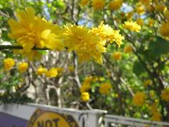 Gelbe Blüten (✿ Esfira ✿) Tags: strauch shrub blumen flowers frühling spring stockerau österreich austria niederösterreich loweraustria