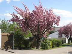 Zierkirschbäume (✿ Esfira ✿) Tags: zierkirschbäume cherryblossoms blumen flowers frühling spring stockerau österreich austria niederösterreich loweraustria