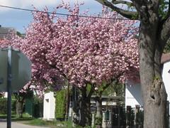 Zierkirschbäume (✿ Esfira ✿) Tags: zierkirschbäume cherryblossoms frühling spring stockerau österreich austria niederösterreich loweraustria