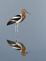 American Avocet Reflected (tomblandford) Tags: avocet americanavocet cheyennebottoms cheyennebottomsbirds natureconservancy nature kansasbirding cornelllab audubonbirds reflection conservation protecttheenvironment protectpubliclands protectwildlife