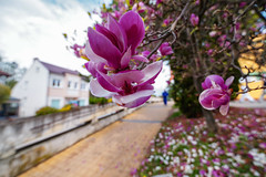 you've been framed (Paul Wrights Reserved) Tags: frame framed magnolia flower flowers house leadinglines leading colour colours colourful color coloured vibrant path beautiful bokeh bokehphotography botanical spring springtime