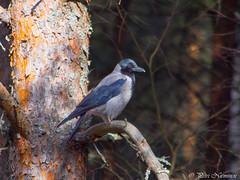 Hooded crow (petrinieminen1) Tags: bird birds birdlife birdphoto outdoor outdoors travel wildlife hoodedcrow tree finland nikon oulu nature wings ornithology landscape wilderness