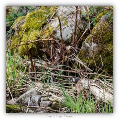 Pb_4250072 (calpha19) Tags: imagesvoyagesphotography adobephotoshoplightroom olympusomdem1mkii zuiko 50200swd printemps 2019 couleursprintemps oiseaux eaux rapide cincleplongeur river rivière lavologne grangessurvologne vosges grandest