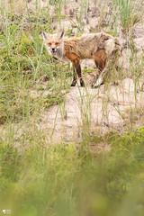 ''Joyeux!'' Renard-îles (pascaleforest) Tags: animal renard fox passion nikon nature wild wildlife faune québec canada dune îles