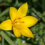 Yellow Lilly thumbnail