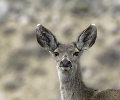 Curiosity (raineys) Tags: easternsierras2019 deer muledeer nature wildlife california specanimal