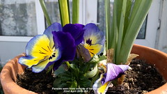 Pansies seen from outside of balcony 22nd April 2019 002 (D@viD_2.011) Tags: pansies seen from outside balcony 22nd april 2019