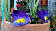 Pansies seen from outside of balcony 22nd April 2019 003 (D@viD_2.011) Tags: pansies seen from outside balcony 22nd april 2019