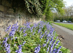 Urban nature - Spring bluebells at Riversway, Preston (Tony Worrall) Tags: preston lancs lancashire city welovethenorth nw northwest north update place location uk england visit area attraction open stream tour country item greatbritain britain english british gb capture buy stock sell sale outside outdoors caught photo shoot shot picture captured ilobsterit instragram photosofpreston spring color colours plants bloom grow blue street urban green bluebells
