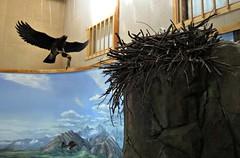 Eagle & Nest Exhibit (R D C) Tags: 2012 ak denalinationalpark alaska