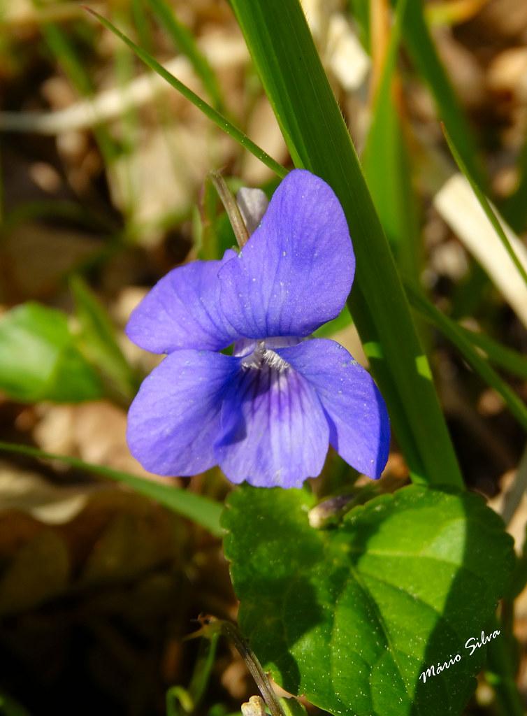 Águas Frias (Chaves) - ... violeta campestre ...